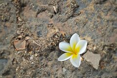 White flower on the ground Royalty Free Stock Images