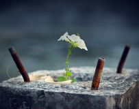 White flower growing on crack concrete pillar, soft focus Royalty Free Stock Photos