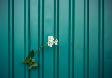 White flower growing on crack metal wall Stock Image