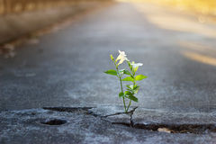 White flower growing on crack street, soft focus. Blank text Royalty Free Stock Images