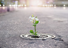 White flower growing on crack street, soft focus, blank text. White flower growing on crack street, soft focus, filtered effect stock photography