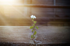 White flower growing on crack street in sunbeam Royalty Free Stock Image