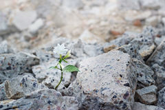 White flower growing on cracks ruins building, hope and faith concept, soft focus Royalty Free Stock Photo