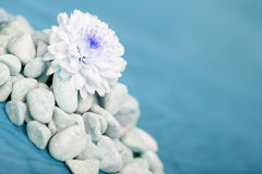 White flower growing from stones Royalty Free Stock Photo