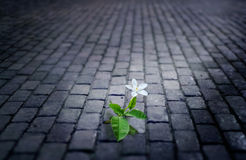 White flower growing on street floor old brick at night, soft fo Royalty Free Stock Photography