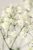 White flower gypsophila. Royalty Free Stock Image