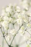 White flower gypsophila. Close-up Royalty Free Stock Image