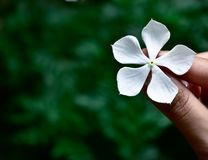 White flower in the hand of a girl with green background royalty free stock photos