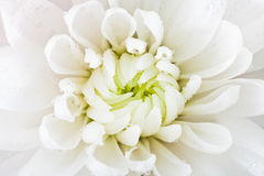 White flower head close up. White flower head of chrysanthemum with rain drops close up stock images