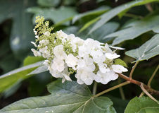 White flower head, oakleaf hydrangea. Hydrangea quercifolia, commonly known as the oakleaf hydrangea or oak-leaved hydrangea, is a species of flowering plant stock photos