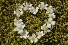 White flower heart. Heart of jasmine, jasmine heart, heart arranged with flowers, white flower heart royalty free stock photography
