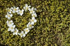 White flower heart. Heart of jasmine, jasmine heart, heart arranged with flowers, white flower heart royalty free stock photo