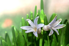 White flower of Hyacinth Stock Photos