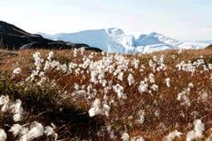 White flower with iceberg in ilulissat, greenland, jakobshavn.  Royalty Free Stock Photos