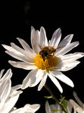 White flower and insect. Olympus camedia, c8080 wide zoom stock photo