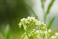 White flower with insect. Macro.small GRIP royalty free stock photography
