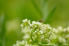 White flower with insect. Macro.small GRIP royalty free stock photos