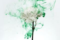 Free White Flower Inside Water Green Background Flowers Under Paints Smoke Steam Blur Carnation Ufo Stock Images - 143613784