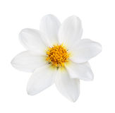 White flower isolated Royalty Free Stock Photography