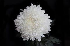 White flower, isolated on black background.  Royalty Free Stock Photography
