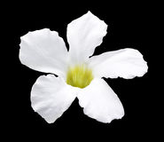 White flower isolated Royalty Free Stock Images