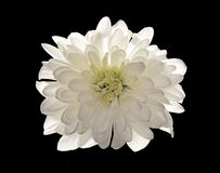 White flower  isolated. White flower Chrysanthemum isolated on black Stock Photography