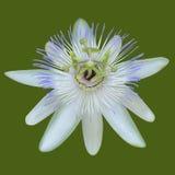White Flower. Royalty Free Stock Photos