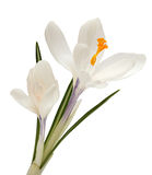 White Flower isolated on white background. Crocus Royalty Free Stock Image