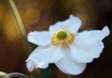 White flower of a japanese anemone Anemone hupehensis against stock photos