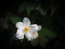 White flower of jasmine (Philadelphus) Stock Image