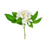 White flower, Jessamine (Murraya paniculata) Royalty Free Stock Image