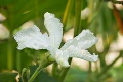 White flower lagenaria lat. Lagenaria, vines of the gourd family lat. Cucurbitaceae royalty free stock photos