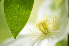 White flower and leaf. Close up white clematis flower and green leaf that a leaf vein clearly Stock Photography