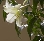 White Flower lily on a beige background. Stock Image