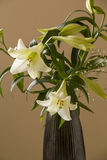 White Flower lily in the black vase on a beige background. Stock Images