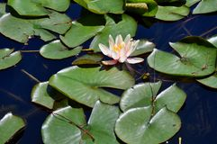 White Flower on the Lily Pads Royalty Free Stock Photos