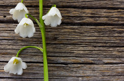 White flower lily of the valley on a background of old gray barn boards Stock Images