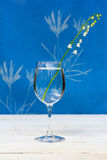 White flower of Lily of the valley in a transparent glass goblet. With water on the table on blue background Royalty Free Stock Image