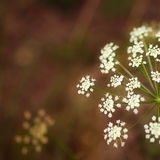 White flower with a little bug. White flowers with bug. Summer forest background Stock Photography
