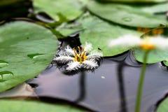 White Flower. A little white lotus flower on pond Stock Image
