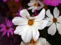 White flower. Location uk gloucestershire , size 3648 2736, Nikon Coolpix camera , 125 iso Stock Photography