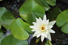 White flower of lotus Royalty Free Stock Images