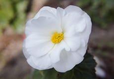 White Flower Macro Stock Image