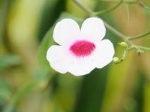White. Flower macro Royalty Free Stock Photography