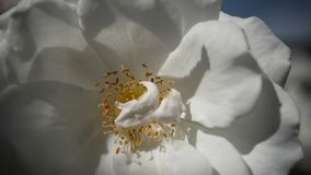 White Flower Macro. In hard contrast Stock Photography