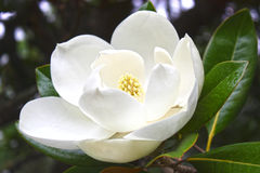 White flower of a magnolia Royalty Free Stock Photography