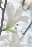 White flower of magnolia Royalty Free Stock Photography