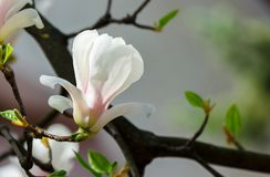 White flower of magnolia tree blossom close up. Lovely springtime background on a bright day Royalty Free Stock Image