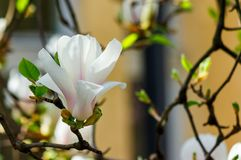 White flower of magnolia tree blossom close up. Lovely springtime background on a bright day Stock Images