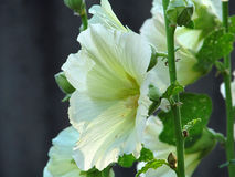 White flower of the mallow. White mallow in the sun summer day Royalty Free Stock Images